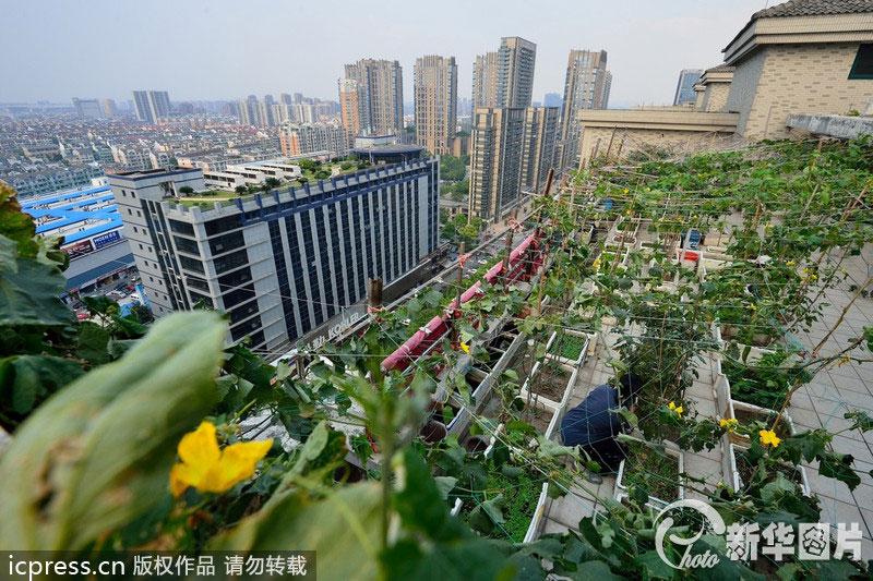 """浙江杭州一小区楼顶现""""空中菜园"""""""
