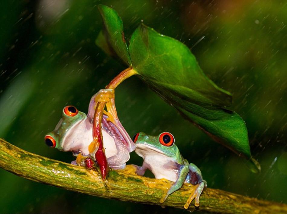 英国摄影师雨天抓拍小树蛙为同伴撑伞高清