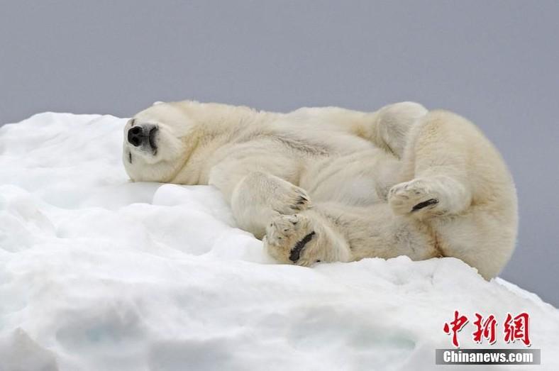 捕捉北极熊起床一刻 伸懒腰打哈欠憨态可掬