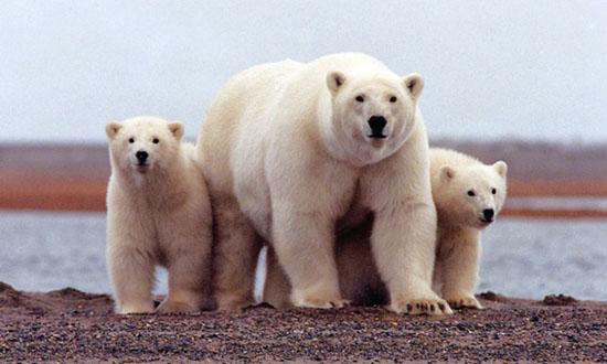 阿拉斯加极地国家野生动物保护区的北极熊一家