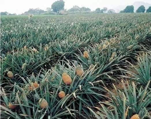 菠萝种植步骤图解