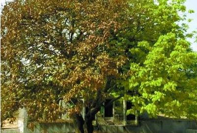 """湖南现""""奇树"""":一边树叶枯萎 另一边长出新叶"""
