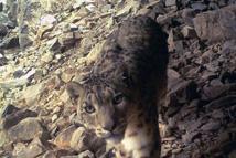祁连山监测到多种野生动物
