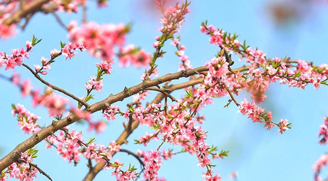 河南光山:看那桃花盛开的地方