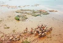 鹿鸣鄱阳:47头麋鹿回归自然