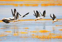 甘肃苏干湖保护区:生态美 百鸟汇