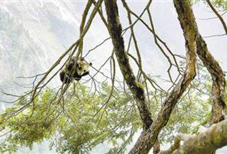 卧龙发现新的大熊猫栖息地