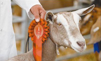 """英国柴郡农业展:动物""""选美"""""""