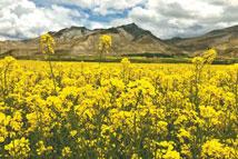 西藏岗巴:高原盛夏时 油菜花始开