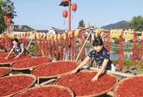 安徽皖南:千年古村晒果实