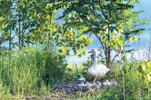 三门峡:人与白天鹅情未了