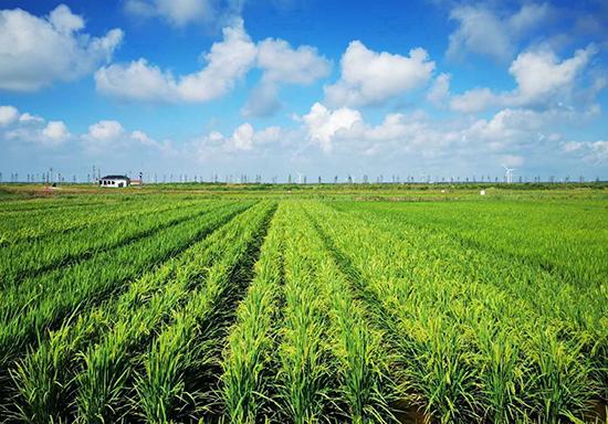 袁隆平院士耐盐水稻亩产超800公斤保障国家粮食安全