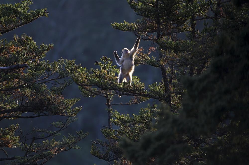 云南实施6000余亩滇金丝猴栖息地廊道修复造林