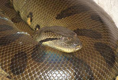 组图:世上超大蟒蛇王集锦