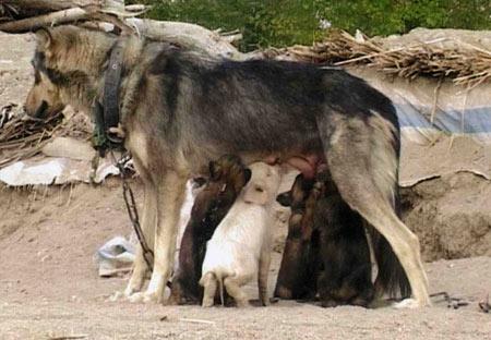 小狗当上猪图片性感小猪似亲姐妹(图)fox严谨妈妈母狗图片