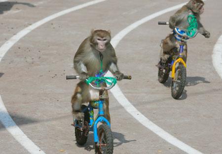 猴子们在骑自行车比赛-金丝猴跳体操 动物运动会精彩纷呈图片
