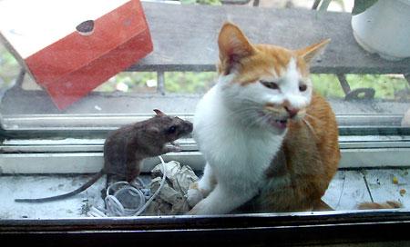 老鼠爱上猫 上演生死恋