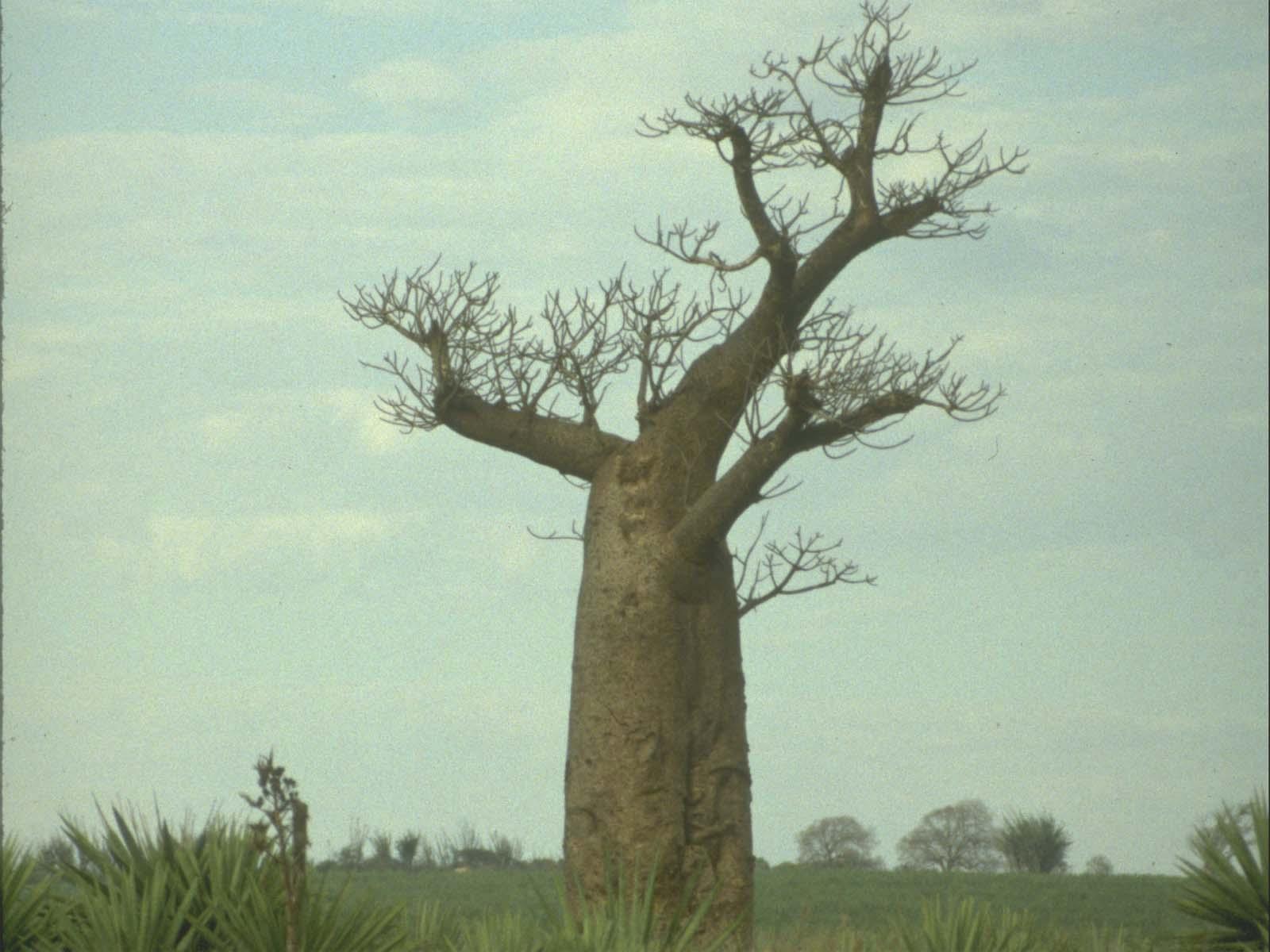世界最粗的树图片_世界上最粗的猴面包树图片