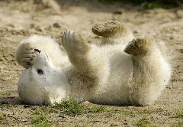 为避免克努特被动物园其他北极熊踩伤