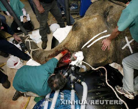 组图:美国动物园兽医给大象拔牙