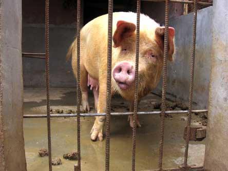 母猪咬伤屠夫救公猪:网友配发前传故事--环保-