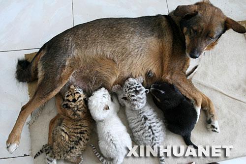 母狗喂养虎崽 济南野生动物园虎狗一家亲