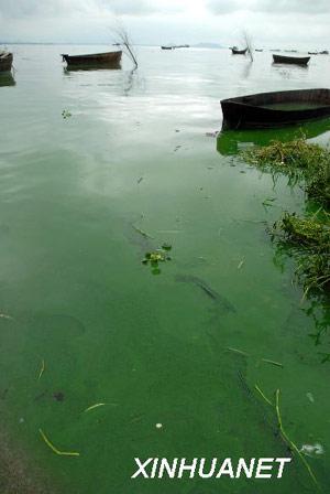 银鱼体内出现寄生虫 鱼类皇后 减产