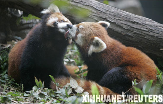 组图:日本动物园厮守8年恩爱小熊猫激烈舌吻