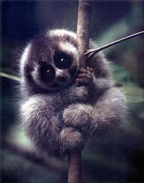 蜂猴:世界上最懒的动物