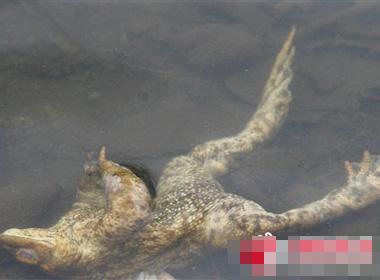 这种已经灭绝的爬行动物在成年时可长到1米