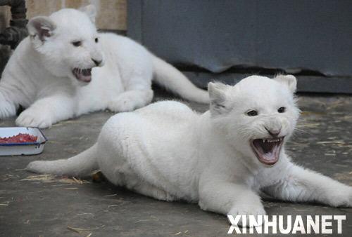 哈尔滨北方森林动物园的一对龙凤双胞胎小白