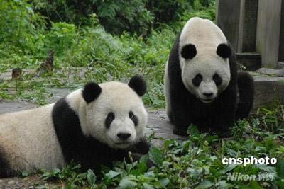 """赠台大熊猫""""团团""""""""圆圆""""被转移至雅安市碧峰峡大熊猫基地."""