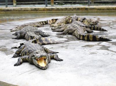 鳄鱼是国家保护动物,进口