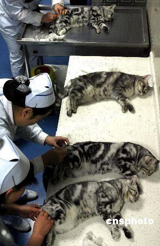 发情期至性情暴躁 北京猫咪排队做绝育手术