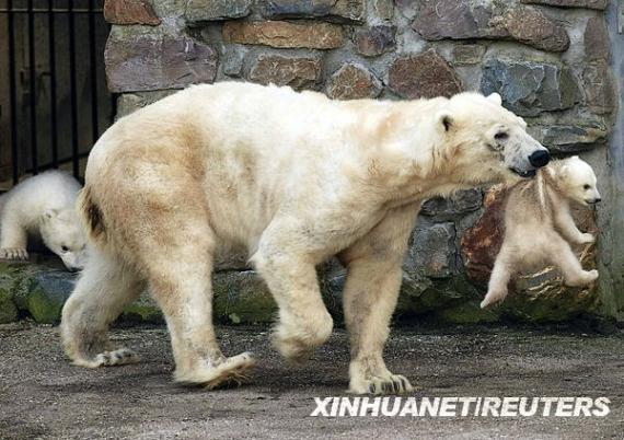 3月17日,荷兰雷嫩一所动物园的一只北极熊幼崽被其鸽子叼起来.怎样给母亲炖产妇汤图片