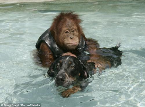 狗无论在外表和性情方面都具有很大差异-猩猩与流浪狗成好友将亮相