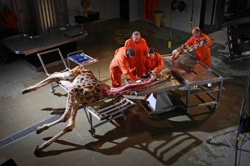动物 最大/解剖长颈鹿