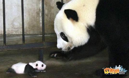 [组图]大熊猫的成长过程