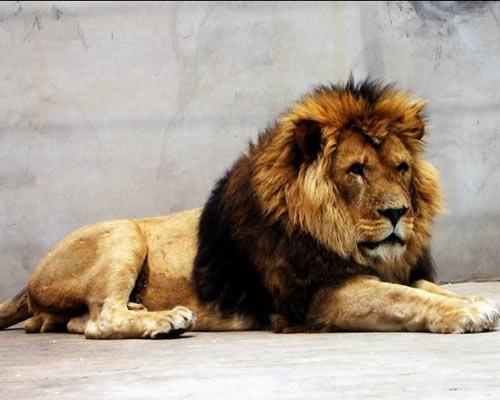 """藏獒/""""东方神犬""""藏獒威猛勇斗雄狮狮子害怕"""