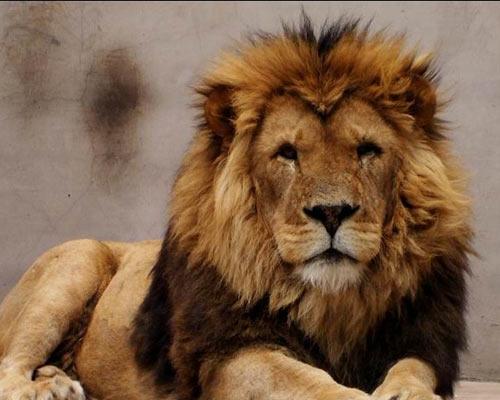 东方神犬藏獒威猛 勇斗雄狮狮子害怕 (2)