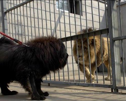 东方神犬藏獒威猛 勇斗雄狮狮子害怕 (8)
