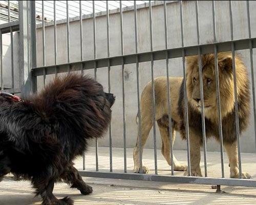 东方神犬藏獒威猛 勇斗雄狮狮子害怕 (7)