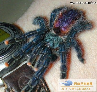 猛蜘珠大盘点 巨型蜘蛛吃鸟 14图片