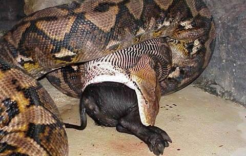 实拍巨型蟒蛇 张嘴可吞下人 18