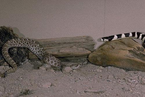 超级毒物的生死对决 加州王蛇生吞响尾蛇