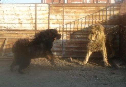 雄狮与藏獒对吼(组图) (4)