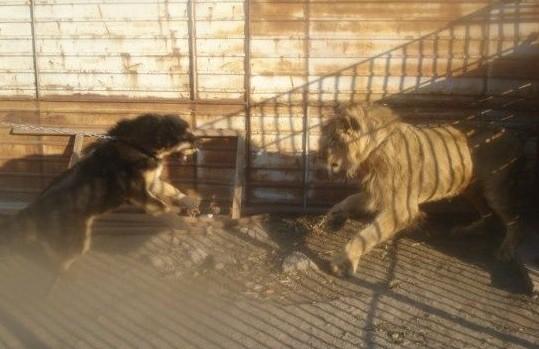 雄狮与藏獒对吼(组图)
