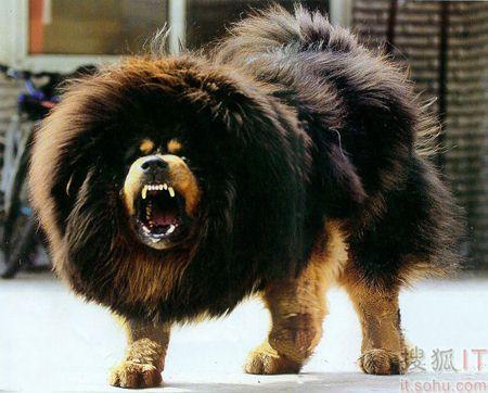 世界上十大最凶悍猛犬