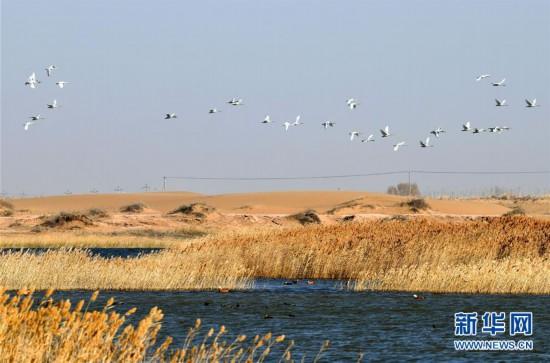 我国第八大沙漠境内湿地迎来大批迁徙候鸟