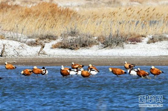 (圖文互動)(2)我國第八大沙漠境內濕地迎來大批遷徙候鳥